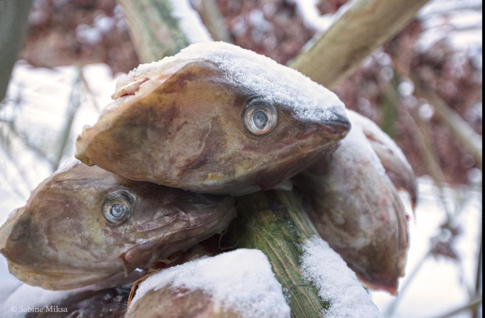 Fischkoepfe